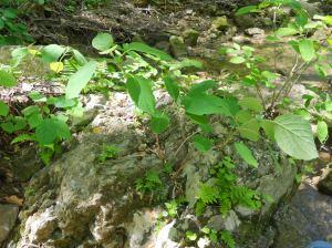 seven bark hydrangea -wild