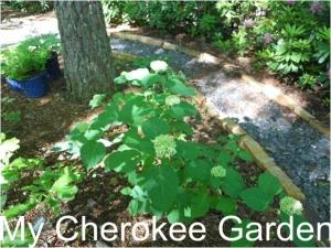 seven bark hydrangea