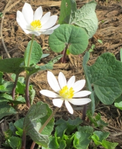 bloodroot-in bloom