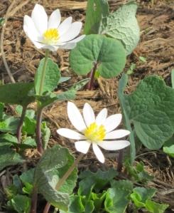 bloodroot-in bloom