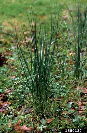 wild onion March 2014
