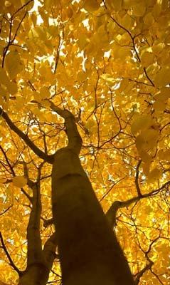 yellowwood-tree-autumn
