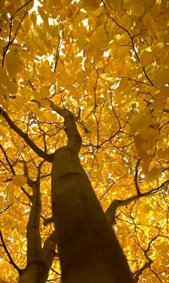yellowwood-tree-autumn