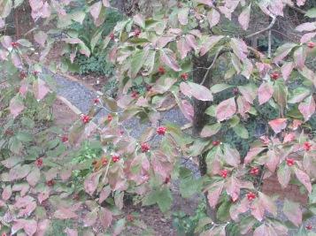 dogwood tree-fall 005