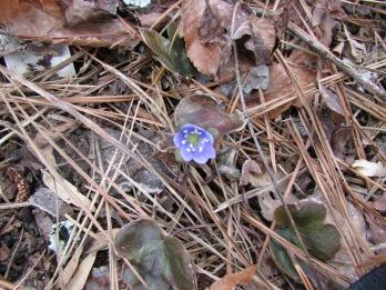 Hepatica -round lobed 03-02-15