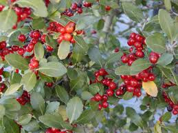youpon holly berries