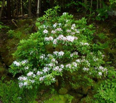 mountain laurel 1
