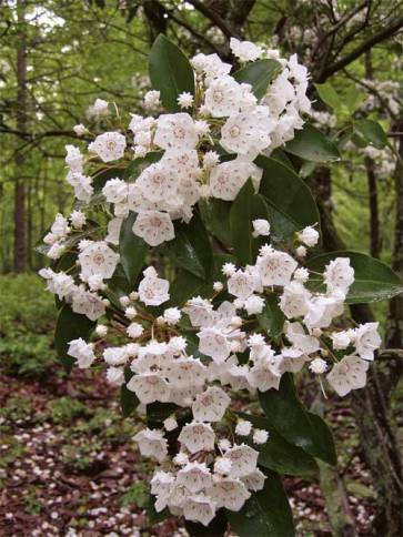 mountain laurel 2
