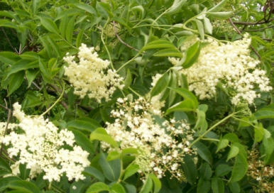 elderberry_blossoms_group
