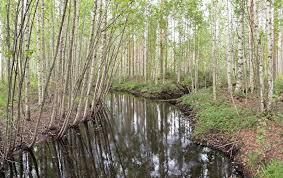river birch 3