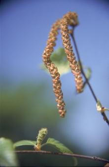 river birch 5