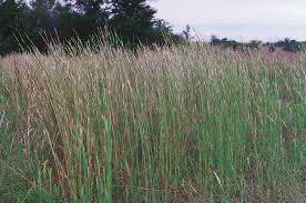 Broomsedge Bluestem 1