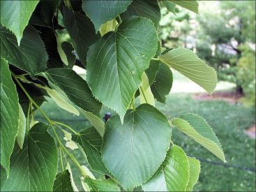 Am. Basswood leaves