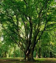 Am. Basswood tree