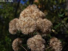 joe-pye-weed-1