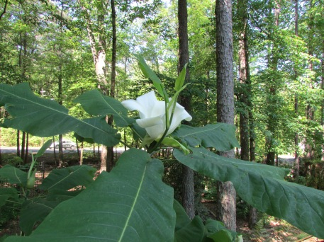 big-leaf-magnolia-1-4-2016_02_14-20_18_57-utc