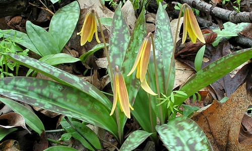Trout_Lily 1