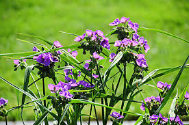 Virginia Spiderwort 1