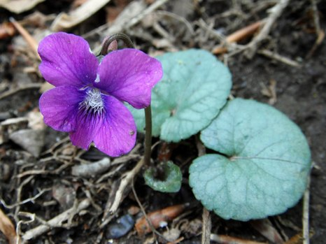 Southern Wood Violet 1