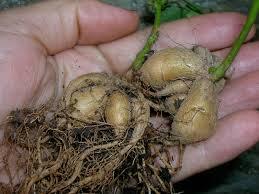 Wild potato 2